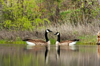 Canada Geese 4